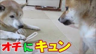 先輩犬のおもちゃが欲しくて目でうったえる柴犬まめ