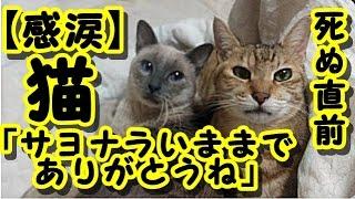 【感動 泣ける話】猫が死ぬ直前に心を許した人にだけ見せる行動が衝撃 / 猫「サヨナラいままでありがとうね」 猫の知られざる習性 ・招き猫ちゃんねる