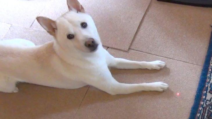 犬のおもしろ動画 レーザーポインターで実験 柴犬