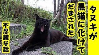 不思議な話・タヌキが黒猫に化けて人間を騙したお話・招き猫ちゃんねる