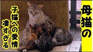 感動 泣ける話・お産をした猫が子猫を思いやる気持ちの強いのを見て感動しました・招き猫ちゃんねる