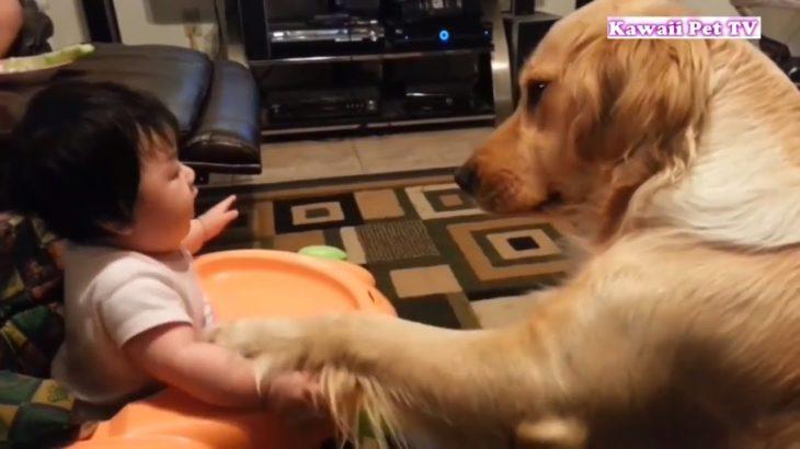 かわいいゴールデンレトリバー犬と赤ちゃん謎の会話動画特集・どっちも可愛すぎる #1