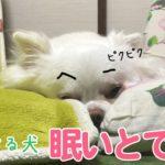 どうしようもなく眠くて、ぐずりながら動きがおかしい犬|How I am sleepy, doggy but crazy dogs