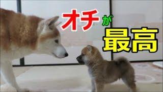 ケージを出ての初の対面 柴犬まめとちゃめ