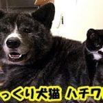 ハチワレ兄弟・出会いは突然…そっくりな犬猫「仲良し兄弟」夜は添い寝です・招き猫ちゃんねる