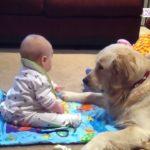 かわいいゴールデンレトリバー犬と赤ちゃん謎の会話動画特集