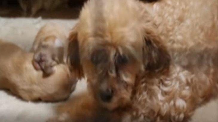 【感動】パピーミルに取り残された500匹もの犬達…。レスキュー後の姿。