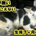 保護猫 障害・母猫に育児放棄された両目が無く耳も聞こえない生後3週間の子猫を保護したお話・招き猫ちゃんねる