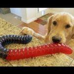 「絶対笑う」最高におもしろ犬,猫,動物のハプニング, 失敗画像集 #103