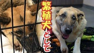 繁殖犬として酷使され続けた犬!保護された時には余命半年であると告げられ…【衝撃】