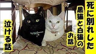 泣ける話・仲良しだった死に別れした、黒子猫と白子猫のお話・招き猫ちゃんねる