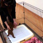可愛い子犬のしつけ 3ヶ月までのおしっこのしつけ(トイレトレーニング) 【犬のしつけ方】