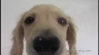 かわいい犬 ミニチュアダックス編