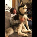 #1 笑わないようにしてください・最高におもしろハスキー犬のハプニング集