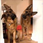 「おもしろ犬」かわいいシェパード犬の超おもしろいハプニング, 失敗集