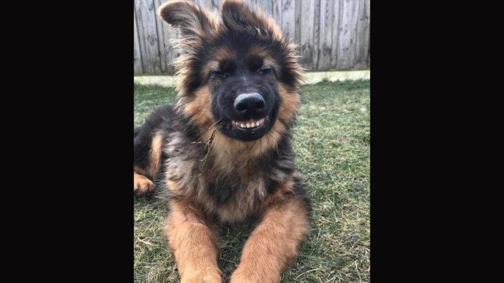 「おもしろ犬」かわいいシェパード犬の超おもしろいハプニング, 動画集