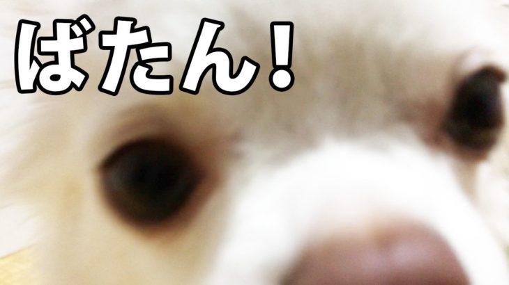 【いきなり寝だす犬】チワワのコハクバタンキューな時/【Sleeping dogs suddenly】 When Chihuahua's amiant Batanche cue