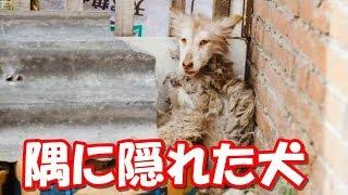 隅に隠れたままのハスキー犬!里親の愛情で活溌な犬に変わる