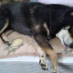 自分の寝言にビックリして起きる犬