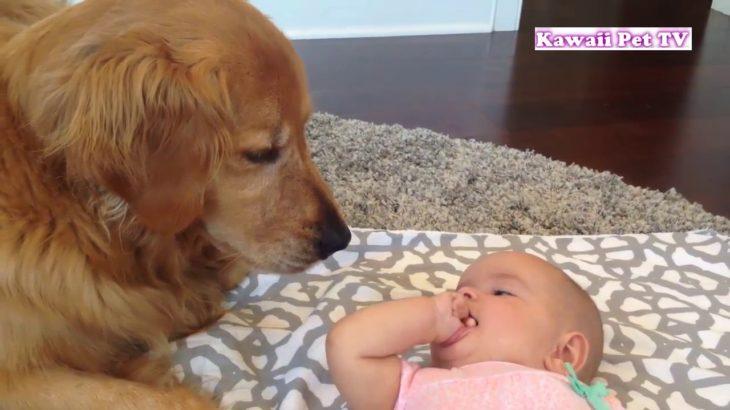 「かわいい犬」初めて人間の赤ちゃんに会ったゴールデンレトリバー犬の反応・超面白い