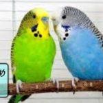 【面白 インコ】おもしろインコ動画 #2【かわいい】