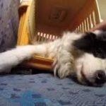 飼い主に甘えるボーダーコリー 遊び疲れてこのまま眠りたい😭『犬バカ日記』