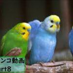 【面白 インコ】おもしろインコ動画 #8【かわいい】