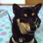 黒柴 しゃべる犬