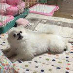 のびのび犬  ポメラニアン  可愛い  芸  ゴロン  ペット