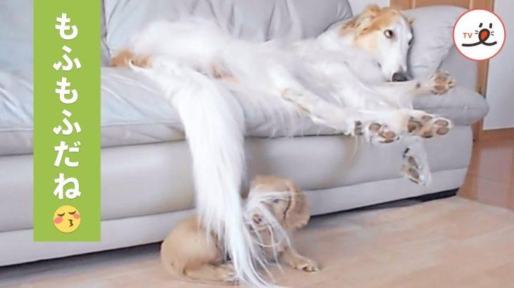 お昼寝したいボルゾイ犬と遊びたいダックス子犬😂【PECO TV】