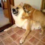 仔犬の甘噛みに耐える母犬