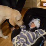 「かわいい犬」初めて人間の赤ちゃんに会ったゴールデンレトリバー犬の反応が超面白い・めっちゃ嬉しそう