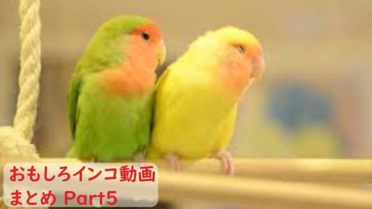 【面白 インコ】おもしろインコ動画 #5【かわいい】
