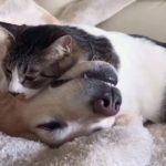 やっぱり一緒にいたいにゃ〜😻 犬さんと猫さん、仲良くおねんねタイム🐶😼💤【PECO TV】