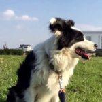 『犬バカ日記』 カワイイ〜シロクロ  【ボーダーコリー】