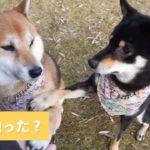 タッチしちゃお🙌 黒柴に触られてびっくりな柴犬の反応がカワイイ…💕【PECO TV】
