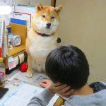 大切な家族で最高の遊び仲間! 柴犬王子くんと兄ちゃんの関係にほっこり☺️✨ 【PECO TV】