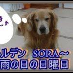 かわいい大型犬  ゴールデンレトリバー 雨の日は室内で遊びます Golden retriever