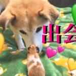 【出会い】犬とハムスターを会わせたら?おもしろ雑種犬やよい ミゾブロはむっこクラブ