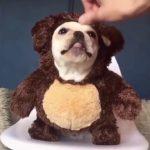 面白くてかわいいフレンチブルドッグ 犬の編集 -すごくかわいい  Funny and cute French bulldog dog editing – very cute