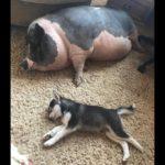 「絶対笑う」最高におもしろ犬,猫,動物のハプニング, 失敗画像集 #416