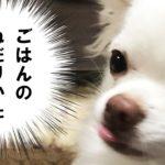 犬のチワワが食事をねだる時の行動/Behavior when Chihuahuasu meals meals