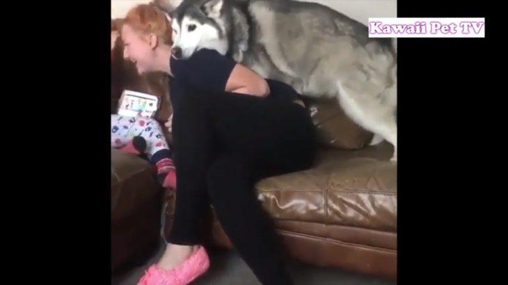 笑わないようにしてください・最高におもしろハスキー犬のハプニング, かわいい動画集