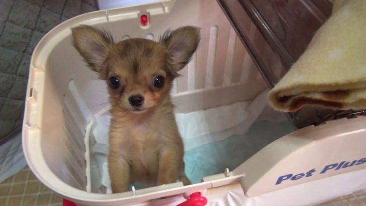 カワイイ愛犬ココ(子犬のチワワ)と飼い主の絆 [低血糖症状の犬動画]