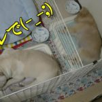 トイレで寝る犬達!Dogs sleeping in the toilet!