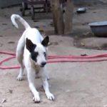 ワイヤーが体にくい込んで成長を阻害させら犬の救助に衝撃!【衝撃映像】