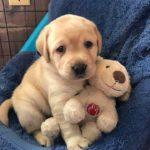「最高におもしろ犬」 かわいいゴールデンレトリバー犬のハプニング, 失敗動画集 #4