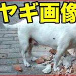 【おもしろ動物】やぎ・ヤギ編 木のぼり崖のぼり【爆笑画像集】