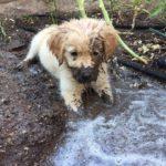 「最高にかわいい犬」面白いゴールデンレトリバー犬のハプニング, 失敗動画集 #5