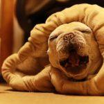 鼻水が溢れだす犬の寝息かわいいよぉ Runny nose dog